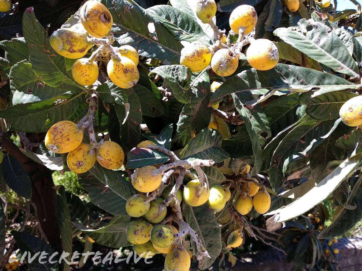 The Loquat fruit